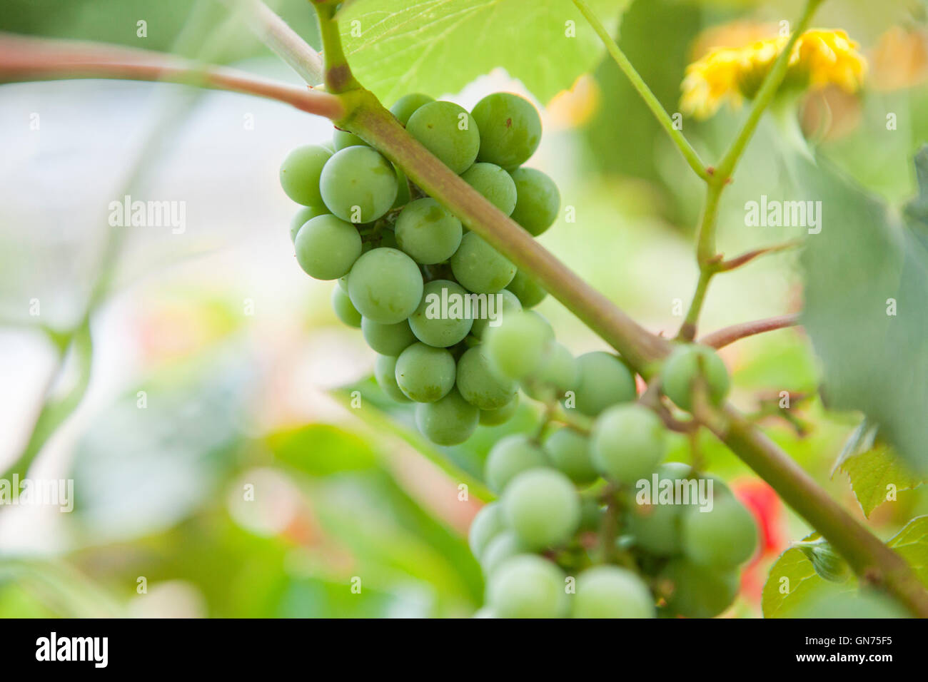 Fox grape (Vitis labrusca) fruits - USA Stock Photo