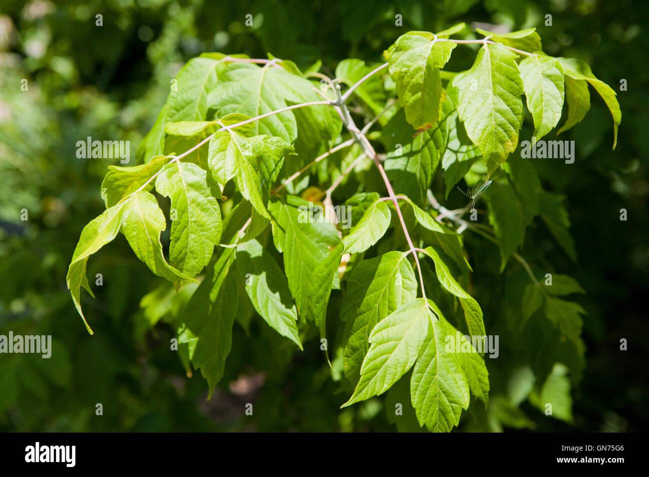 Kelly's Gold box elder tree (Acer negundo) - USA - Stock Image