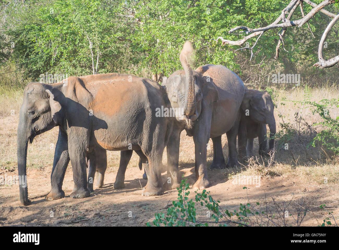 Elephants at the Udawalawe National Park, Sri Lanka - Stock Image