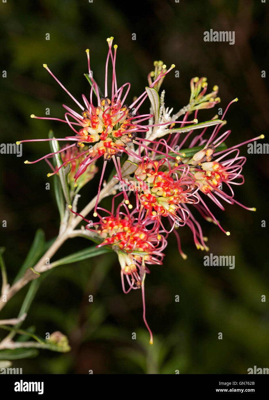 Cluster of stunning vivid red yellow flowers of grevillea red cluster of stunning vivid red yellow flowers of grevillea red sunset australian native plant on dark background mightylinksfo