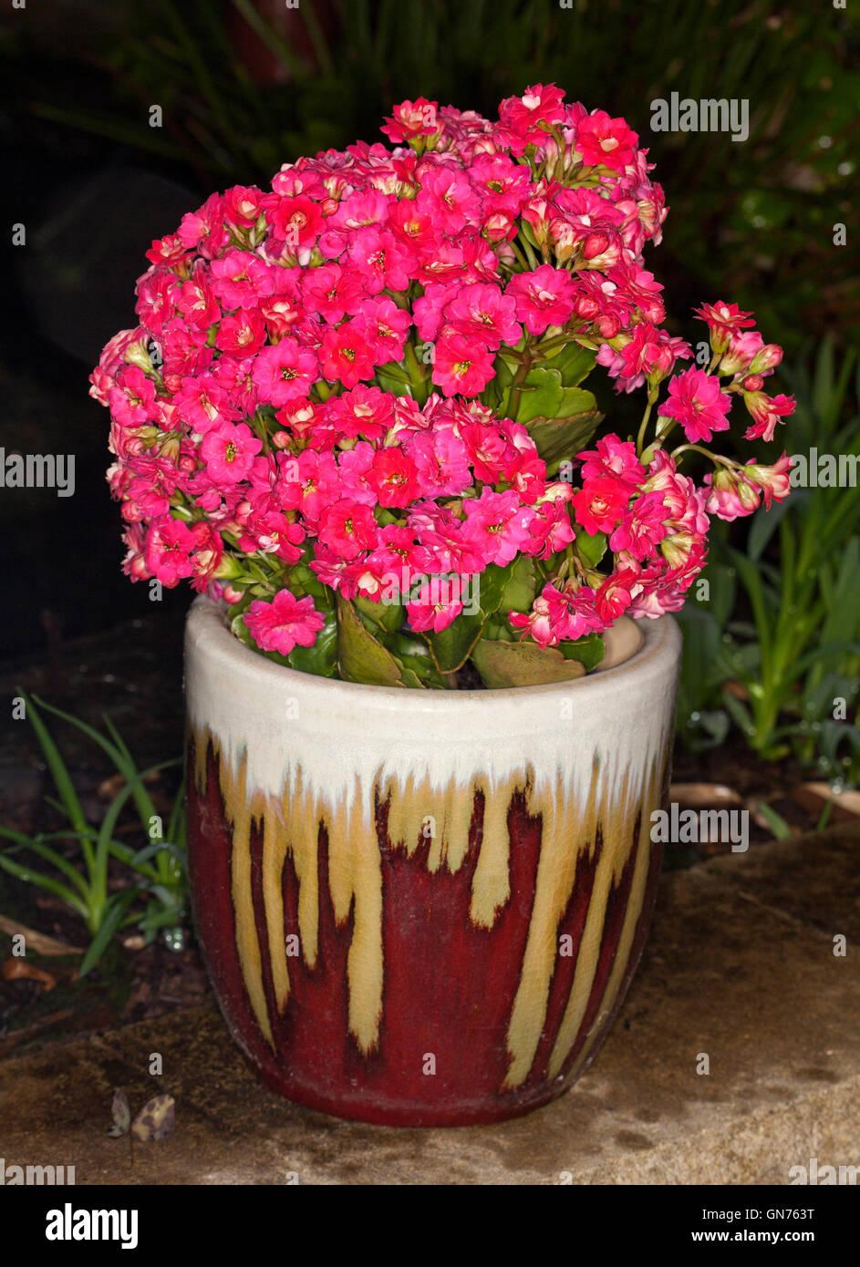 Growing Kalanchoe Stock Photos Growing Kalanchoe Stock Images Alamy