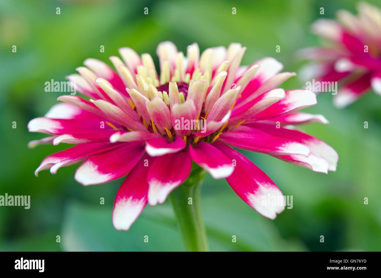 Aster Flower White And Red Hybrid Also Called As Callistephus Stock