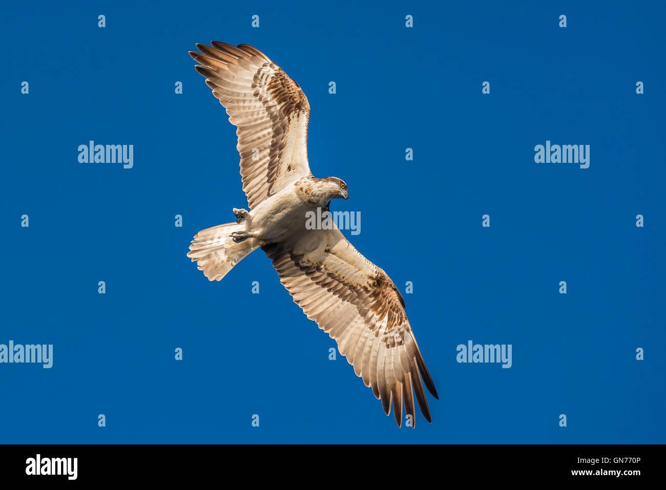 Osprey flying seeking for food - Stock Image