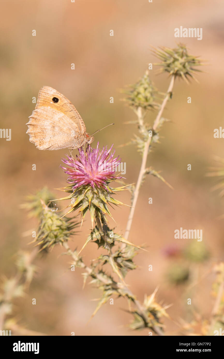 Pseudochazara pelopea (Klug, 1832) is a species of butterfly in the Nymphalidae family. It is confined to Lebanon, - Stock Image