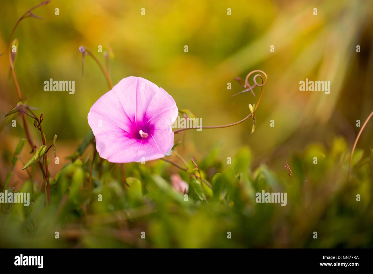 Saltmarsh morning glory flower (Ipomoea sagittata). This climbing plant inhabits coastal regions around the Eastern - Stock Image
