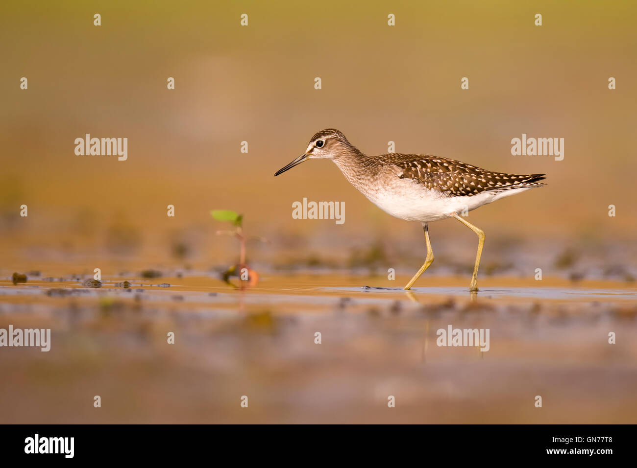Wood sandpiper (Tringa glareola). This bird is a wader that forages in shallow water or mudflats in or around freshwater - Stock Image