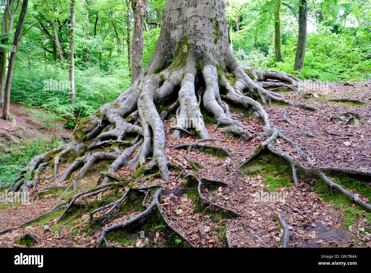 Tree roots in Smithills Hall gardens, Bolton, UK - Stock Image