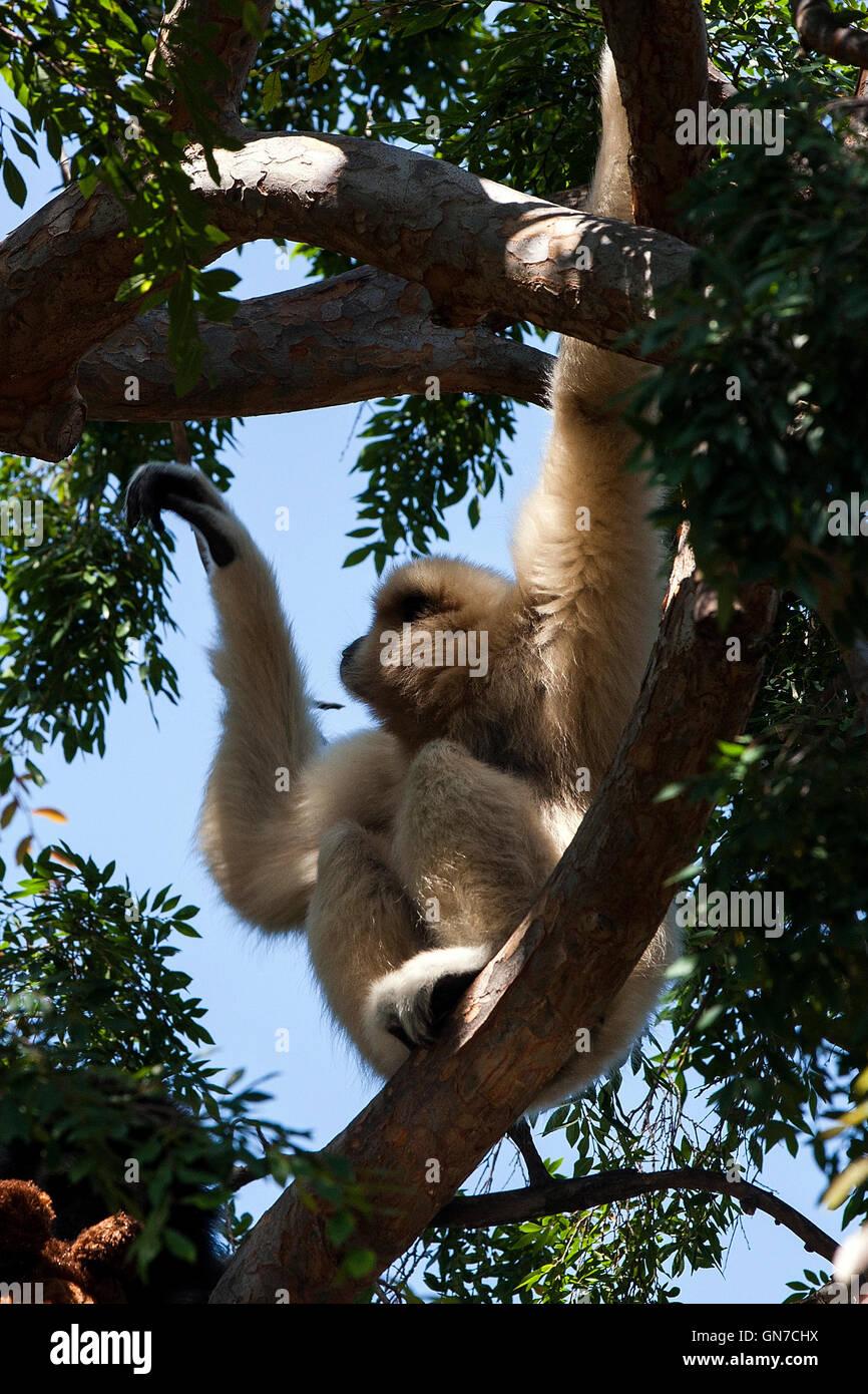 White-handed Gibbon - Lar Gibbon (Hylobates lar), Oakland Zoo, Oakland, California, United States of America - Stock Image