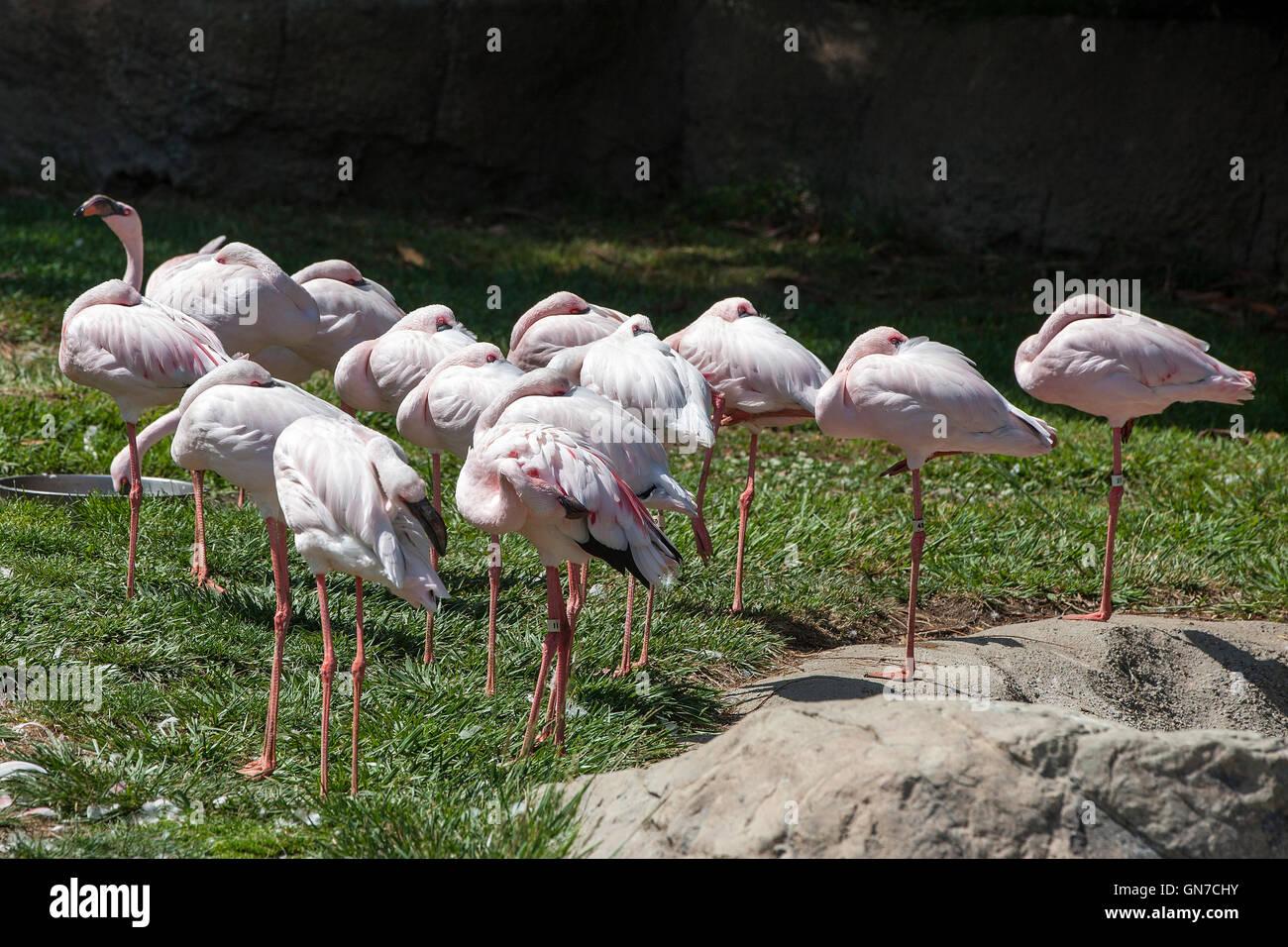 Lesser Flamingo (Phoeniconaias minor), Oakland Zoo, Oakland, California, United States of America Stock Photo