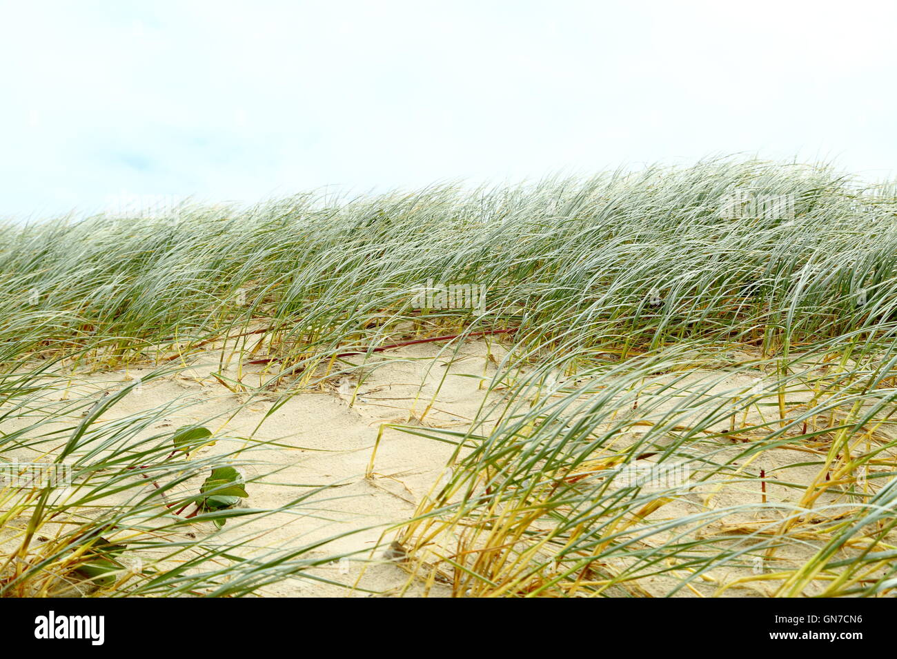 Sand dune grasses wave in a strong wind on a stormy day along the shore near Iluka, New South Wales, Australia. - Stock Image
