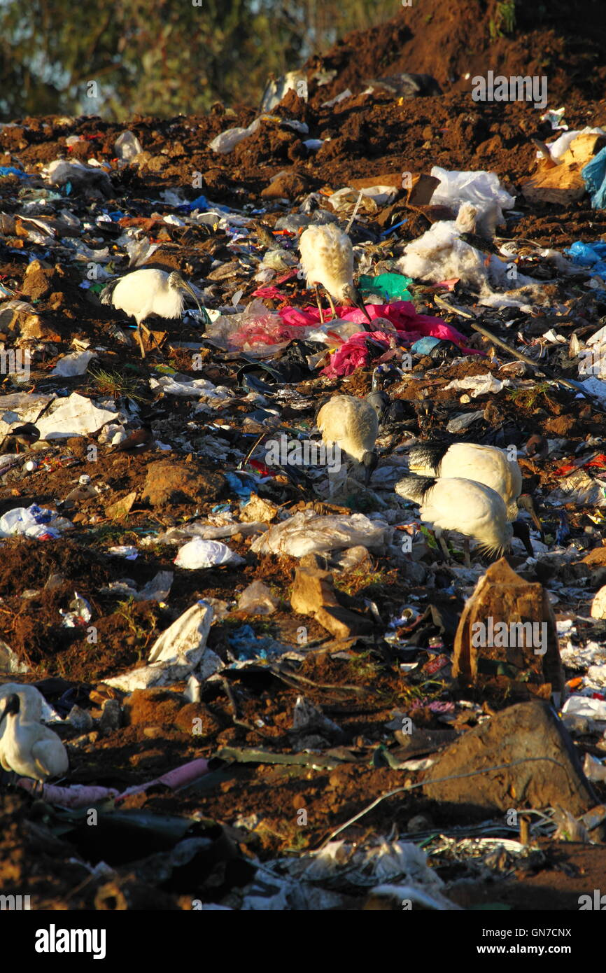 Australian White Ibis birds foraging among trash rubbish at a tip - or waste management facility - in NSW, Australia. - Stock Image