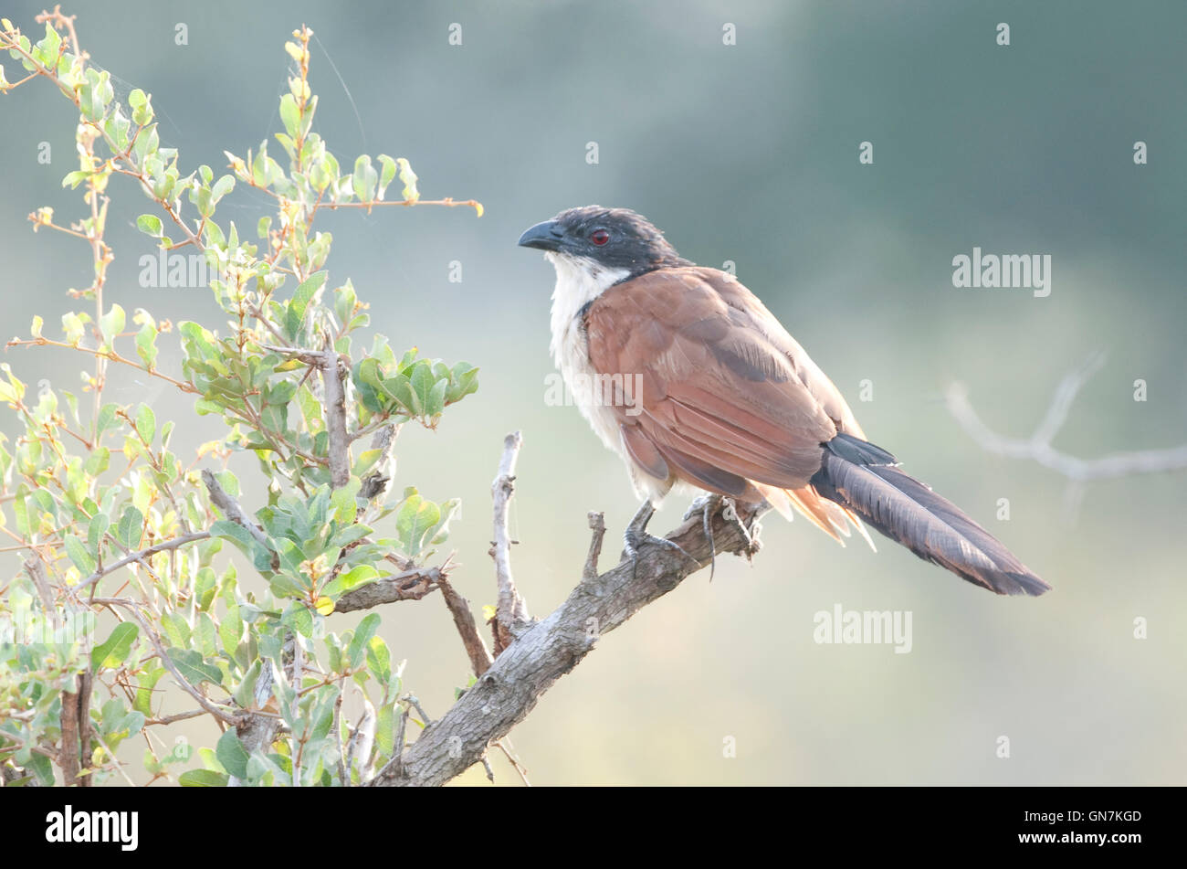 Burchell's Coucal (Centropus burchelli) on a branch - Stock Image
