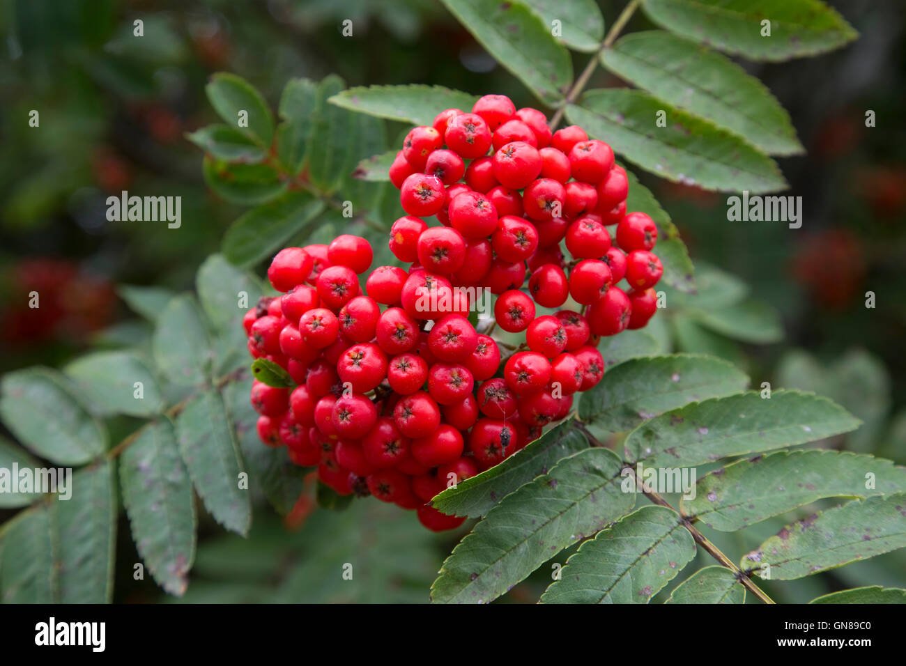 Cluster Of Red Berries On Mountain Ash Tree Mid Wales Stock Photo