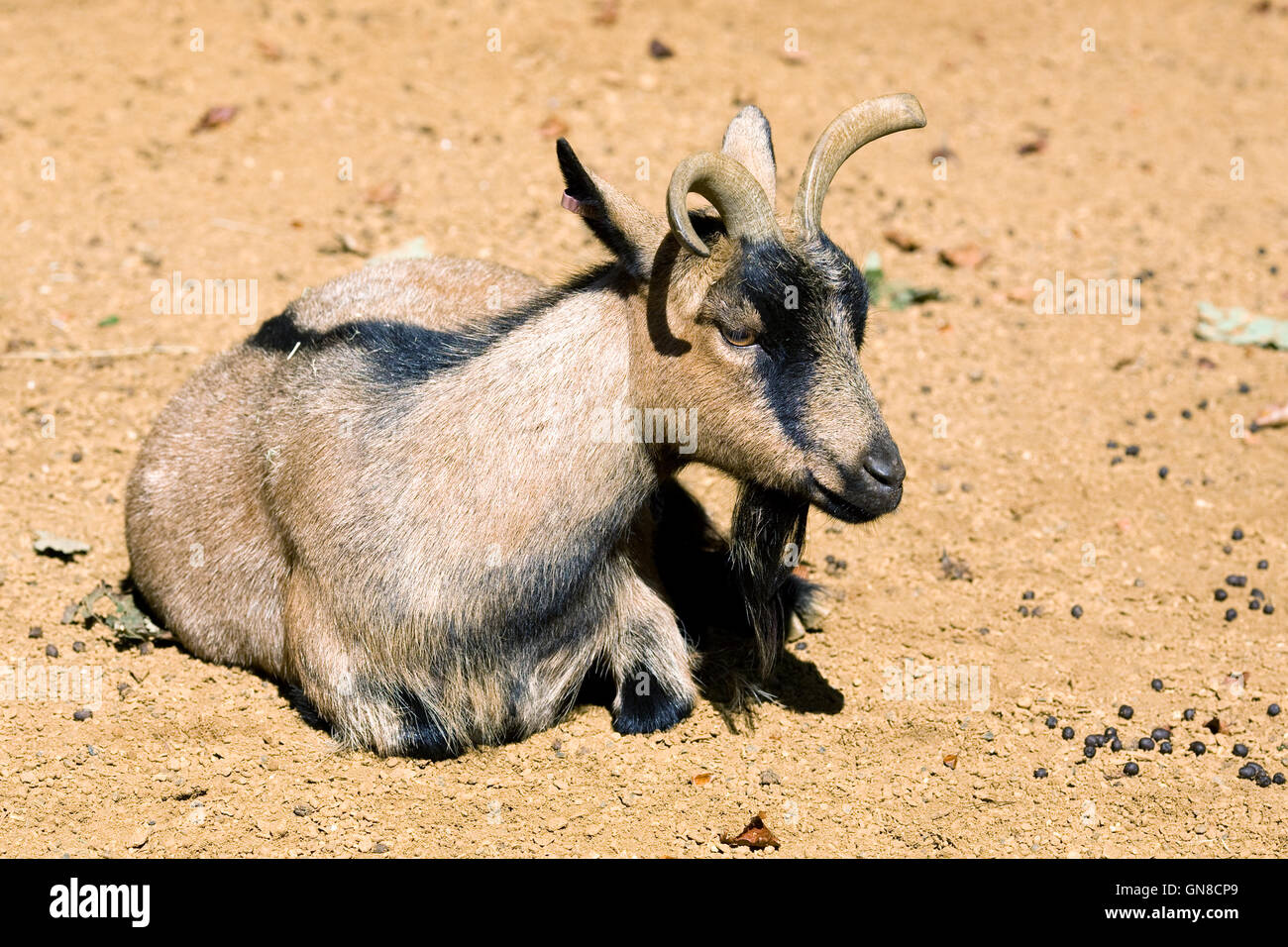 Capra hircus. African pygmy goat. - Stock Image