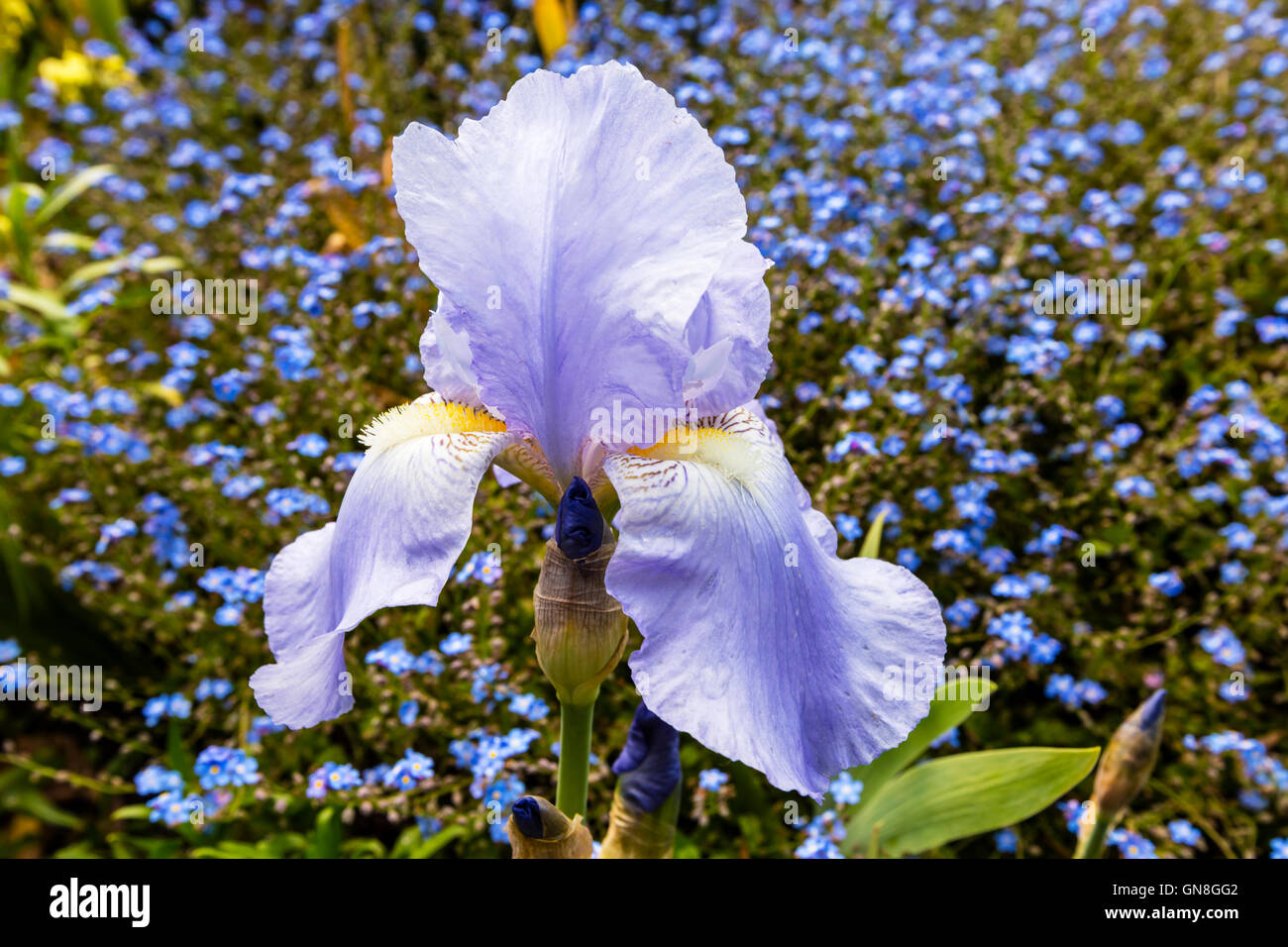 Pale blue Bearded Iris (Iris Germanica)  in full bloom in a garden close-up. - Stock Image