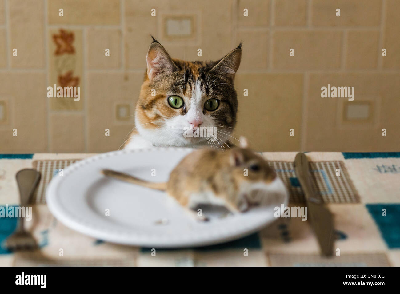 Cat looking to little gerbil mouse on the table. Concept of prey, food, pest. Stock Photo