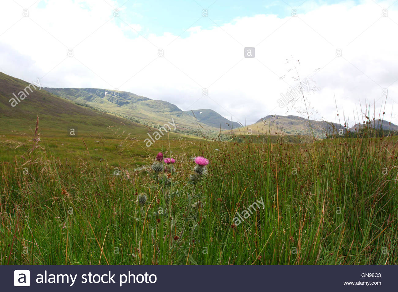 thistle in landscape near spey reservoir near laggan, badenoch, cairngorms national park, central highlands, highlands, - Stock Image