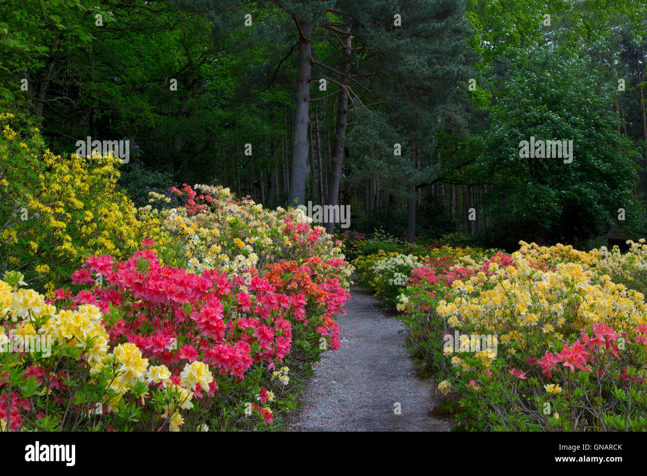 Azaleas and Rhododendrons at Stody Lodge Gardens Norfolk May - Stock Image