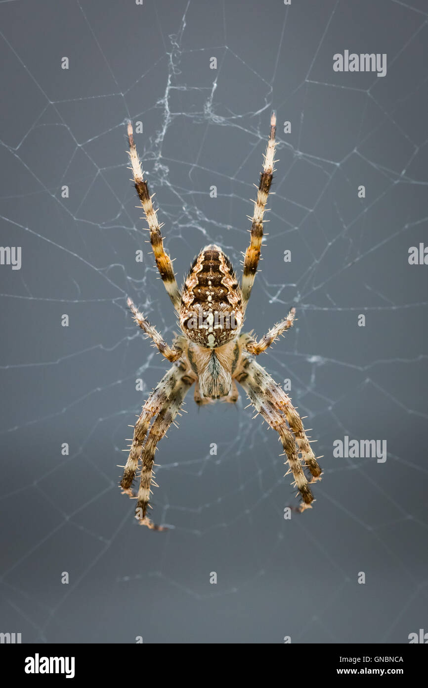 Cross spider in the middle of its web - Stock Image