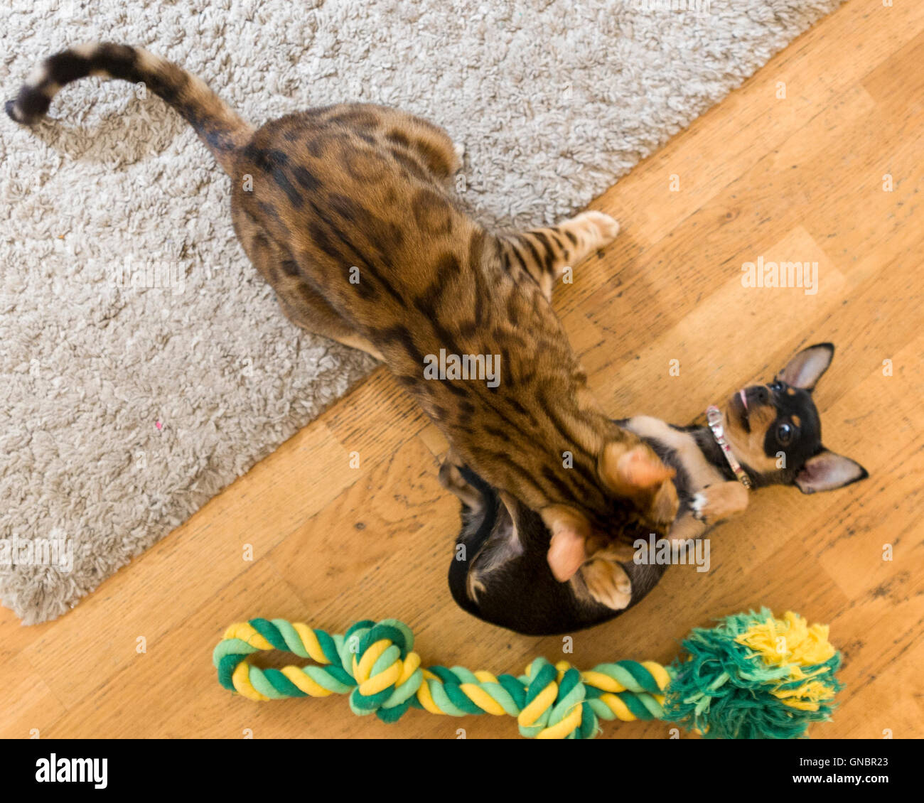 Female Bengal cat and female Chihuahua puppy play fighting over pet toy  Model Release: No.  Property Release: Yes - Stock Image