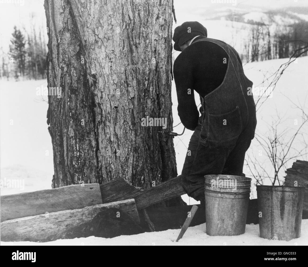 Man Drilling Spout while Tapping Sugar Maple Tree to Collect Maple Syrup, North Bridgewater, Vermont, USA, Marion - Stock Image