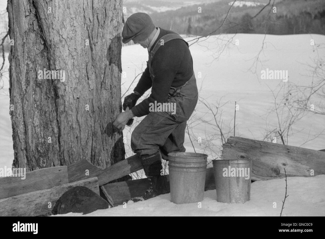 Man Tapping Sugar Maple Tree to Collect Maple Syrup, North Bridgewater, Vermont, USA, Marion Post Wolcott for Farm - Stock Image