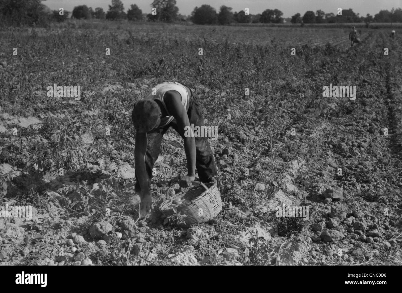 Man Harvesting Potatoes, Jefferson County, Kentucky, USA, Marion Post Wolcott for Farm Security Administration, Stock Photo