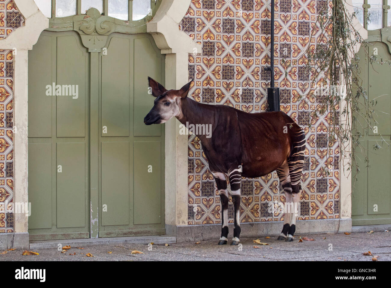 Okapi (Okapia johnstoni) native to the Congo in Central Africa in the Antwerp Zoo, Belgium - Stock Image