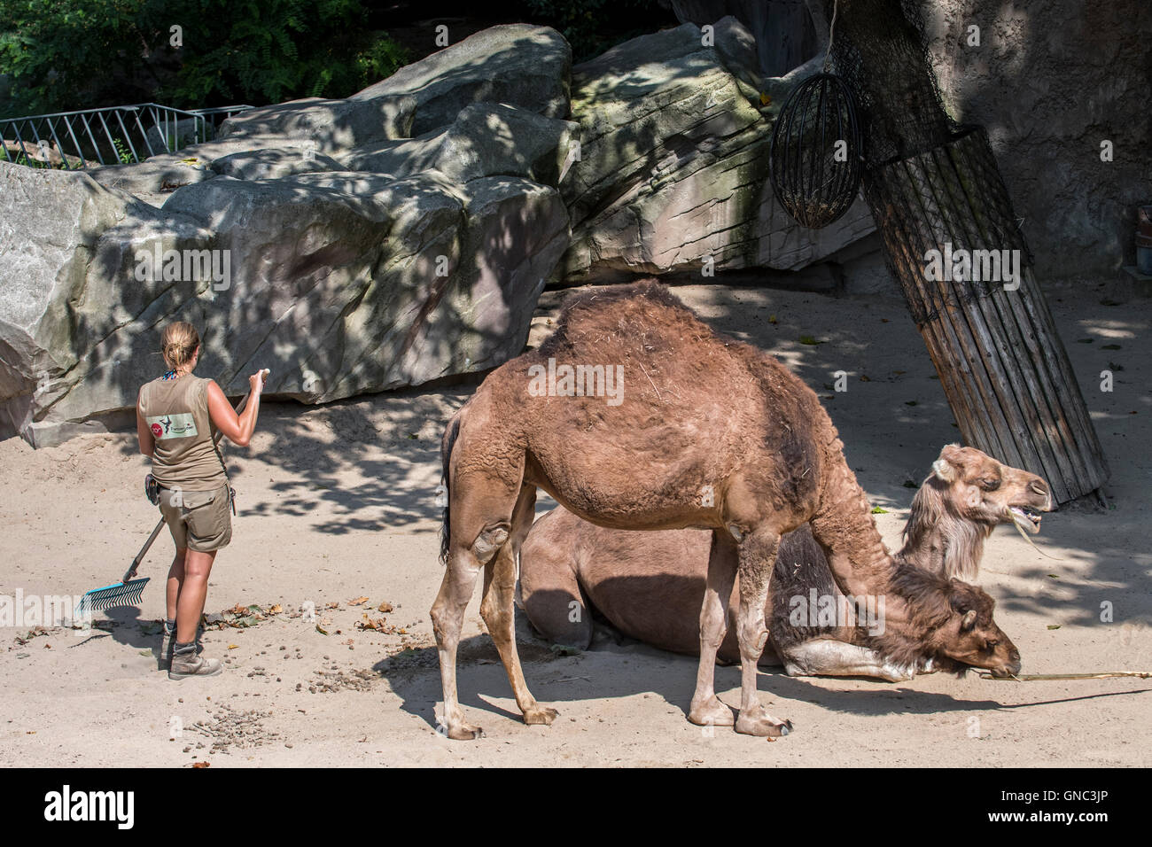 Zookeeper cleaning up the dromedary enclosure at the Antwerp Zoo, Belgium - Stock Image