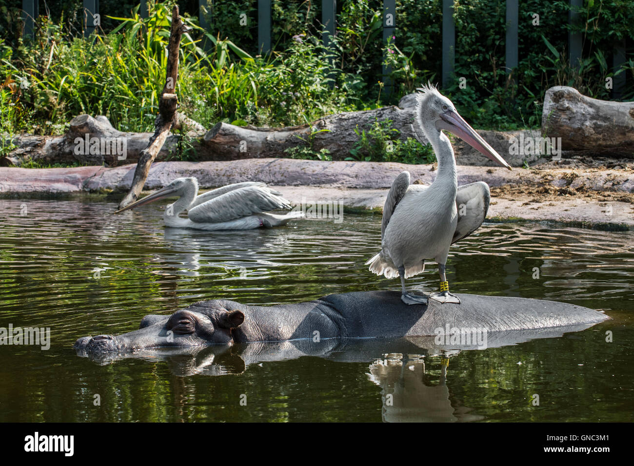 Dalmatian pelican (Pelecanus crispus) resting on hippopotamus (Hippopotamus amphibius) in pond at the Antwerp Zoo, - Stock Image
