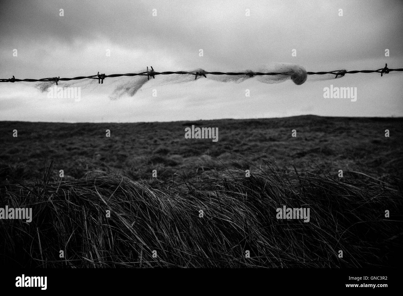 Wool Caught on Barbed Wire Fence with Rural Countryside in Background on Cloudy Day, Ireland - Stock Image