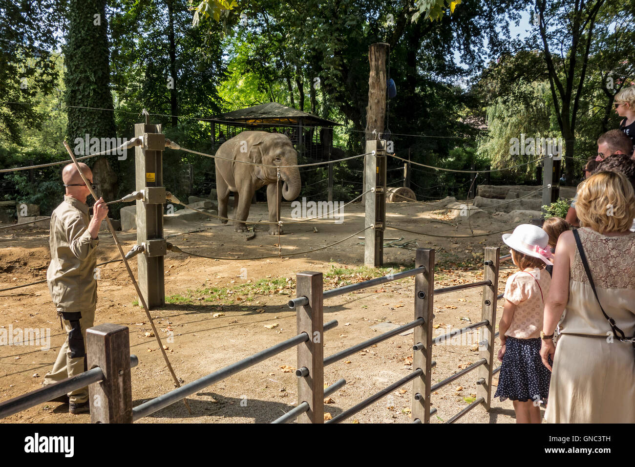 Zookeeper in enclosure with Asian elephants / Asiatic elephant (Elephas maximus) talking to visitors at the Antwerp - Stock Image