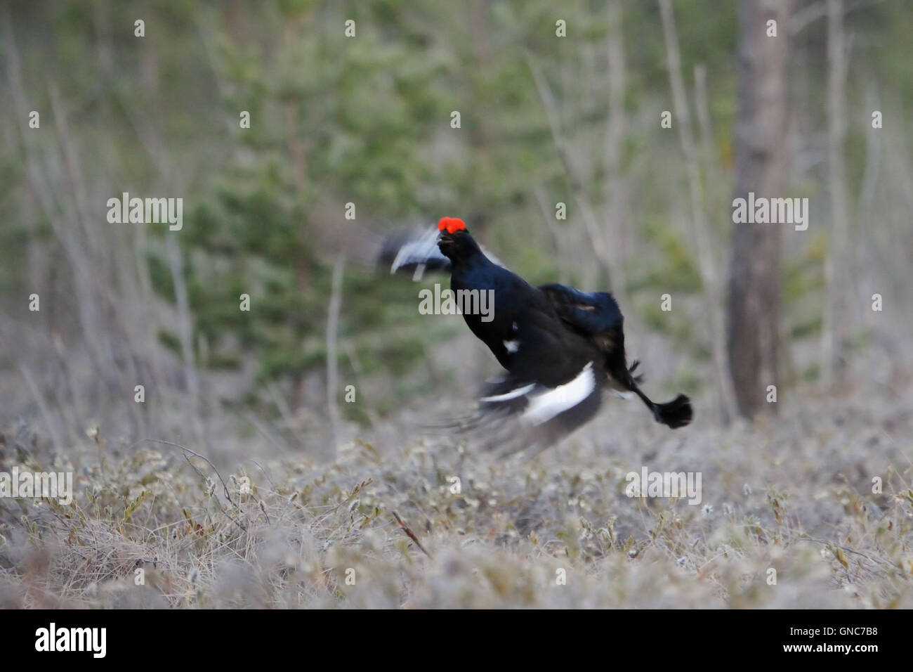 Jumping male Black Grouse (Tetrao tetrix) at swamp courting place before dawn. - Stock Image