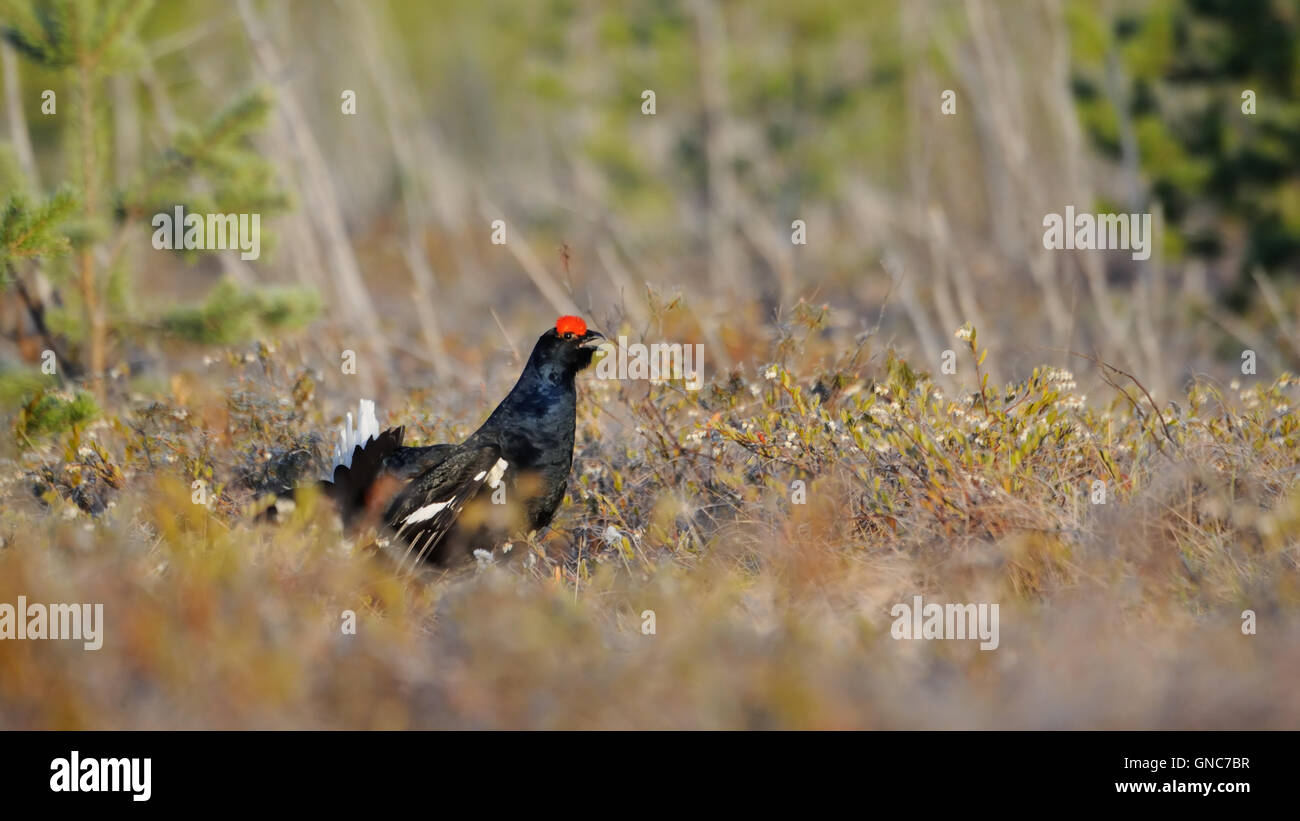Male Black Grouse (Tetrao tetrix) at swamp courting place early in the morning. - Stock Image