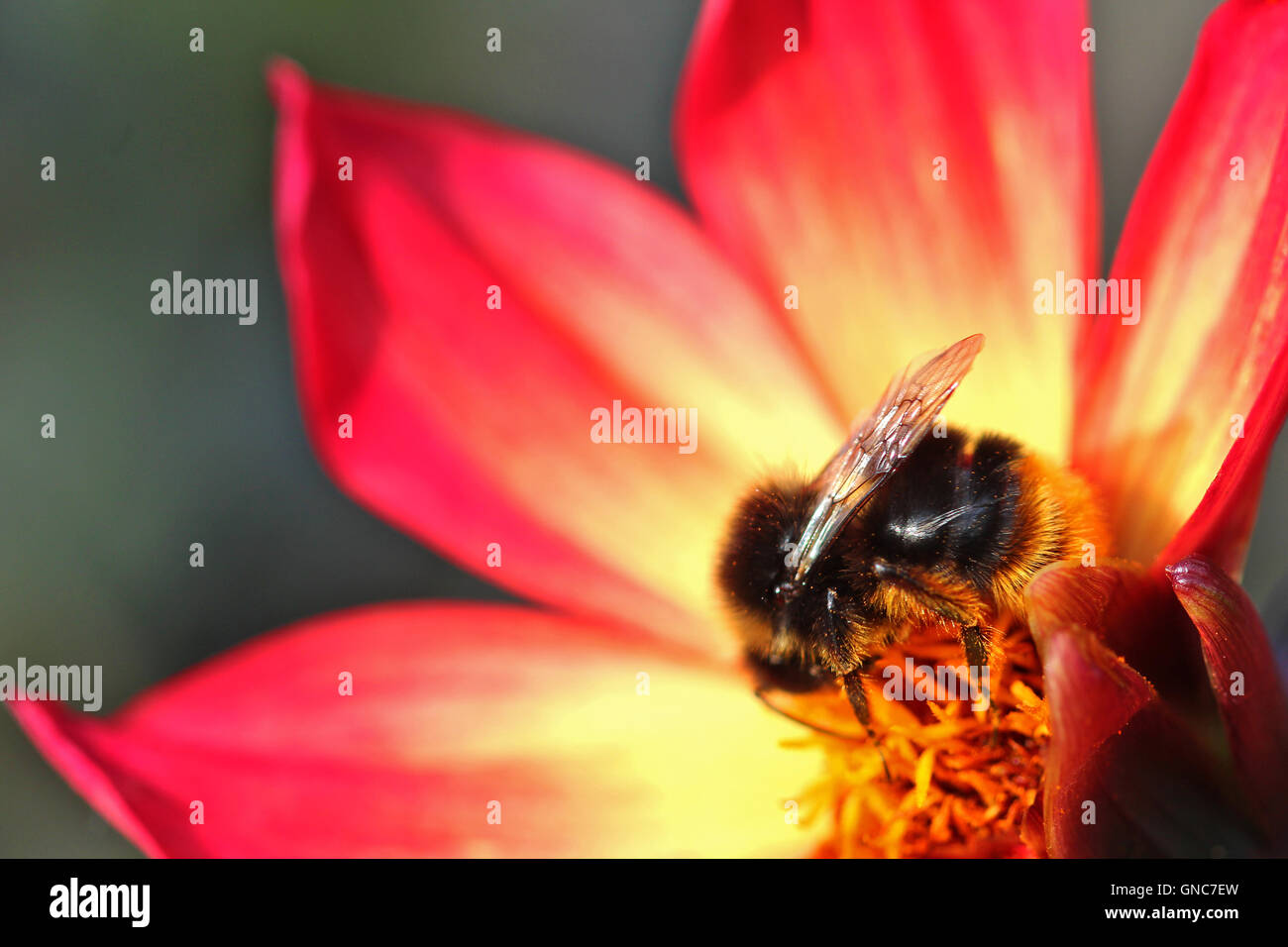 Close up of a bee on a flower - Stock Image