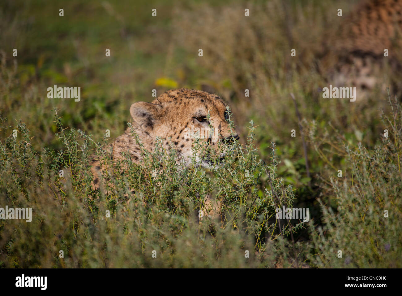 Head of a cheetah Acinonyx jubatus visible above the tall grassland as it silently watches its surroundings - Stock Image