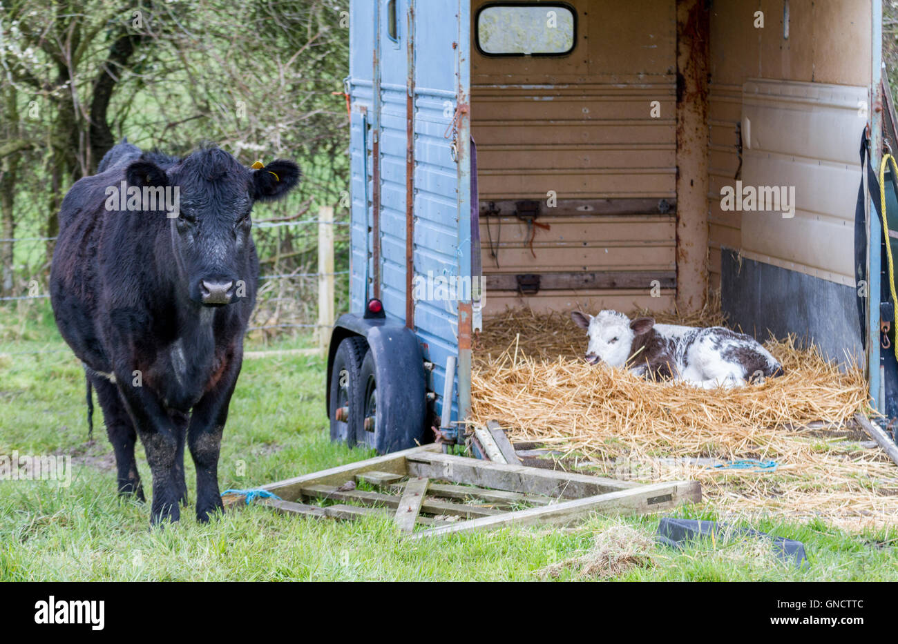 proud new mother cow watching fiercely over newborn deformed calf - Stock Image
