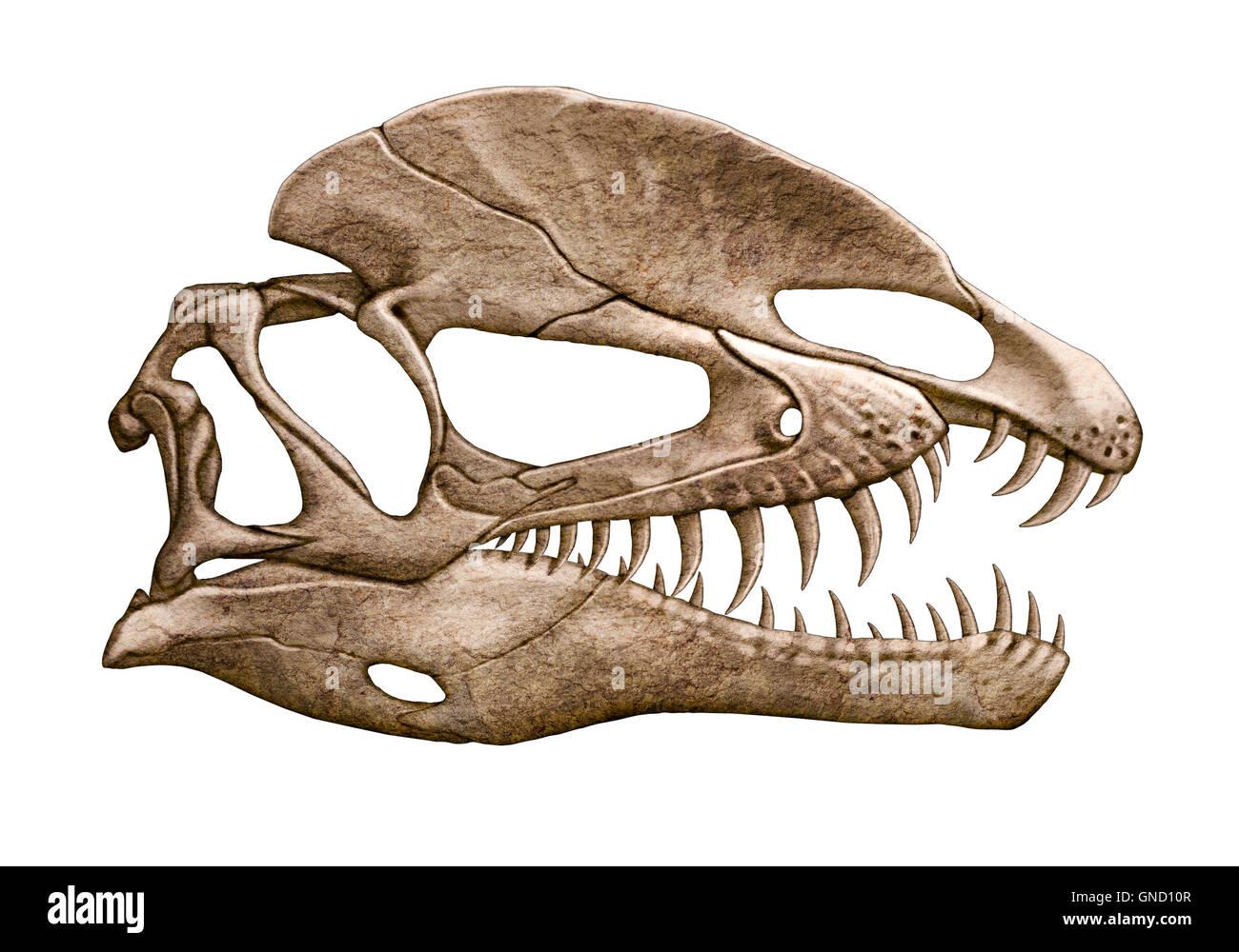 Dilophosaurus Skull isolated white background - Stock Image