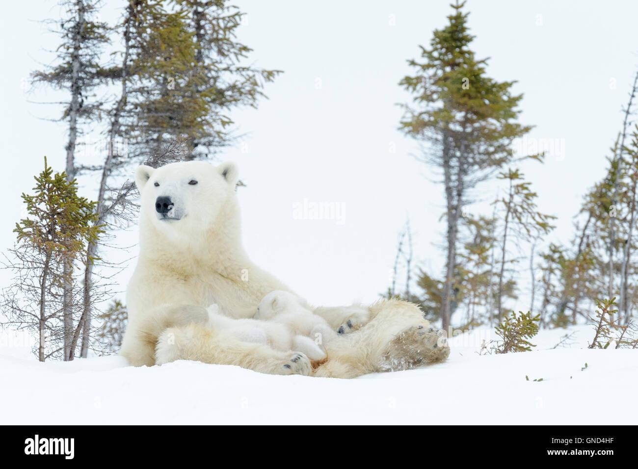 Polar bear mother (Ursus maritimus) sitting up and feeding two new born cubs, Wapusk National Park, Manitoba, Canada Stock Photo