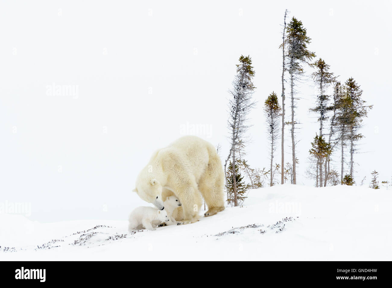 Polar bear mother (Ursus maritimus) with two cubs on tundra, Wapusk National Park, Manitoba, Canada - Stock Image
