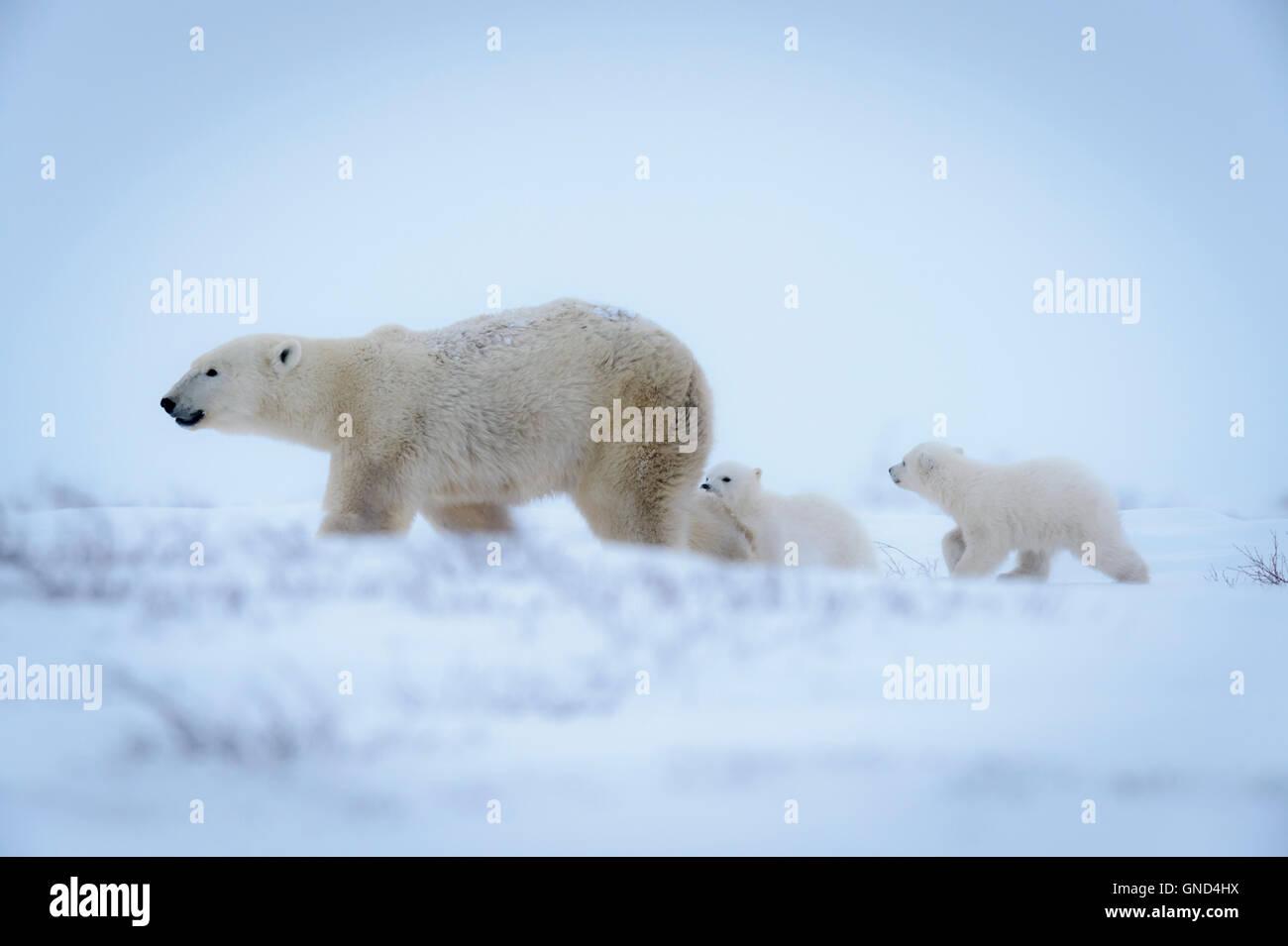Polar bear mother (Ursus maritimus) with two cubs walking on tundra at dusk, Wapusk National Park, Manitoba, Canada - Stock Image