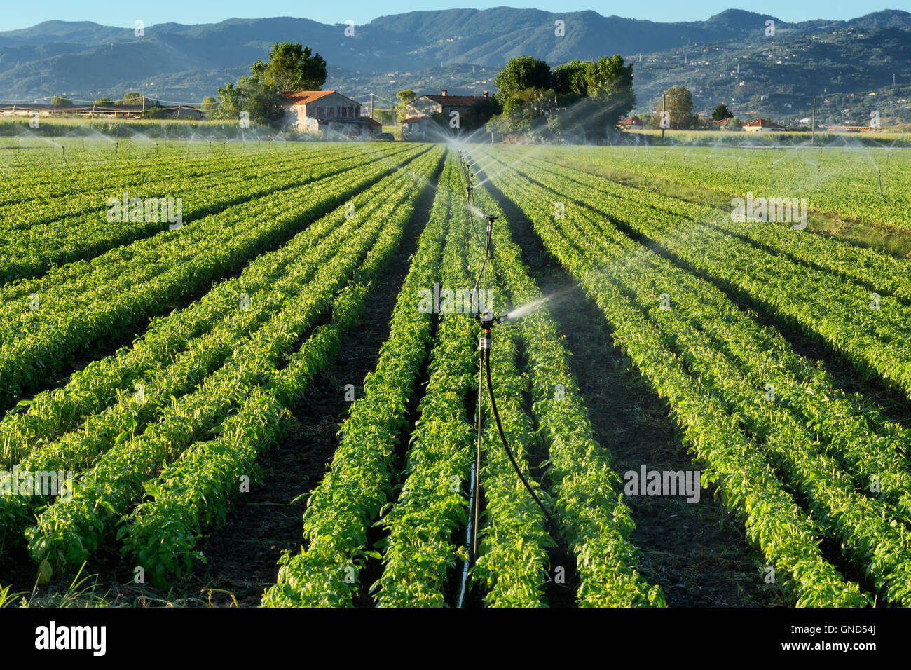 irrigation system on a basil field - Stock Image