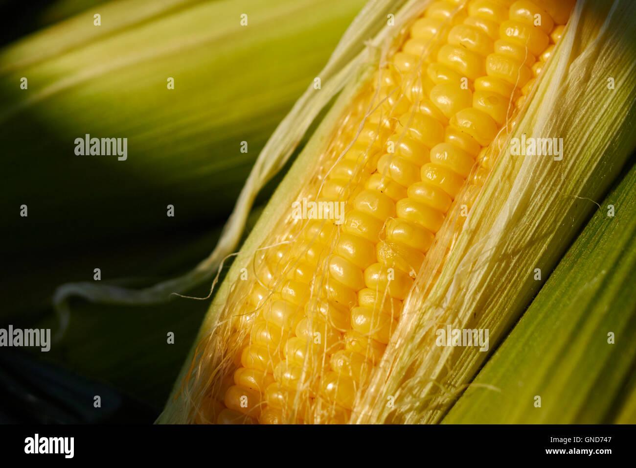 Ear of sweet corn at a Pennsylvania USA farmer's market - Stock Image