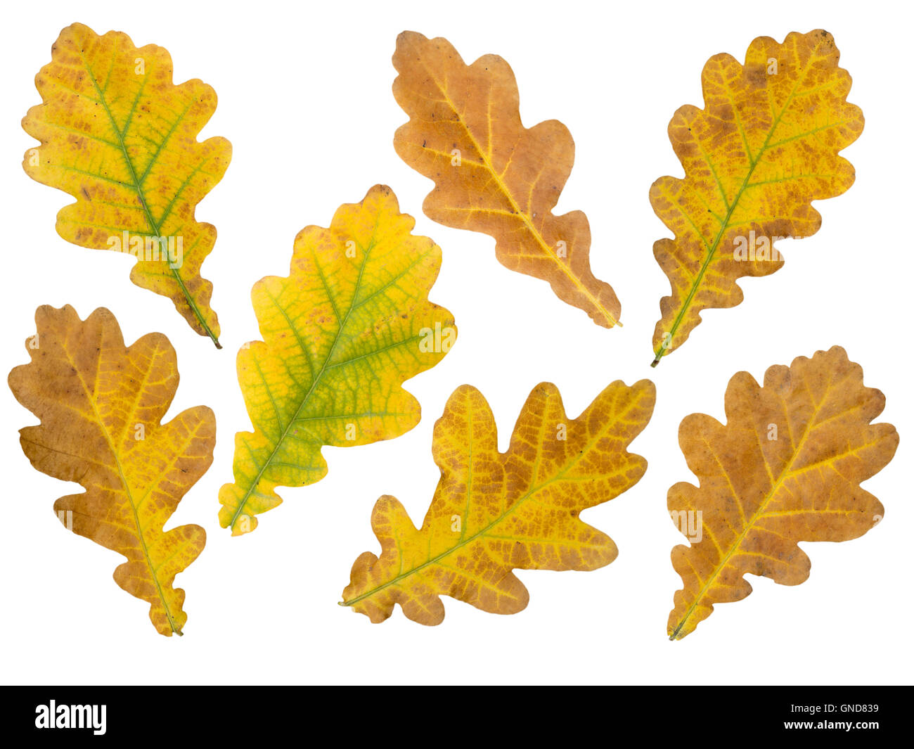 Set of seven brown and yellow oak leaves isolated on white Stock Photo