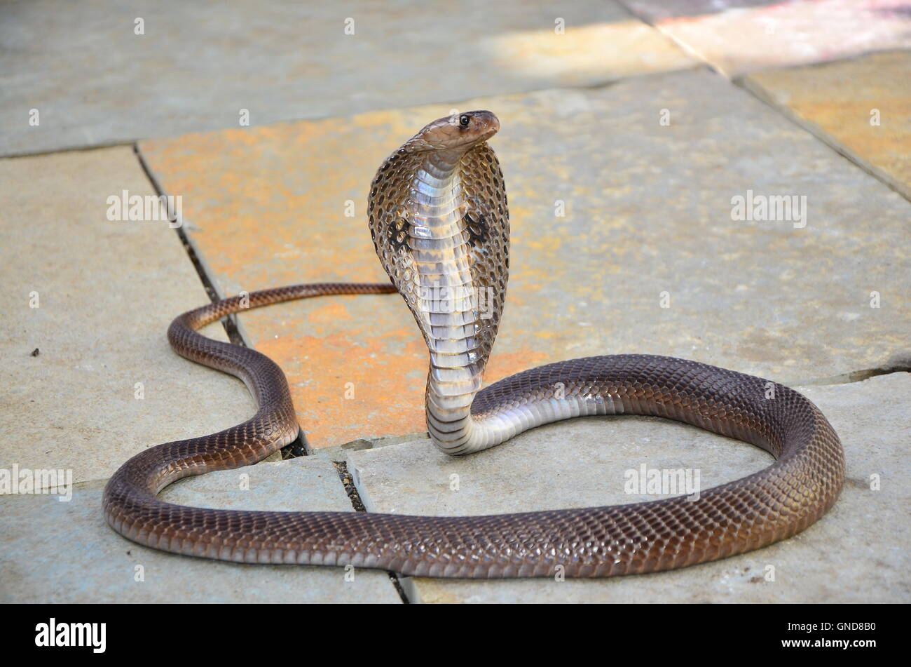 Indian Spectacled Cobra. - Stock Image