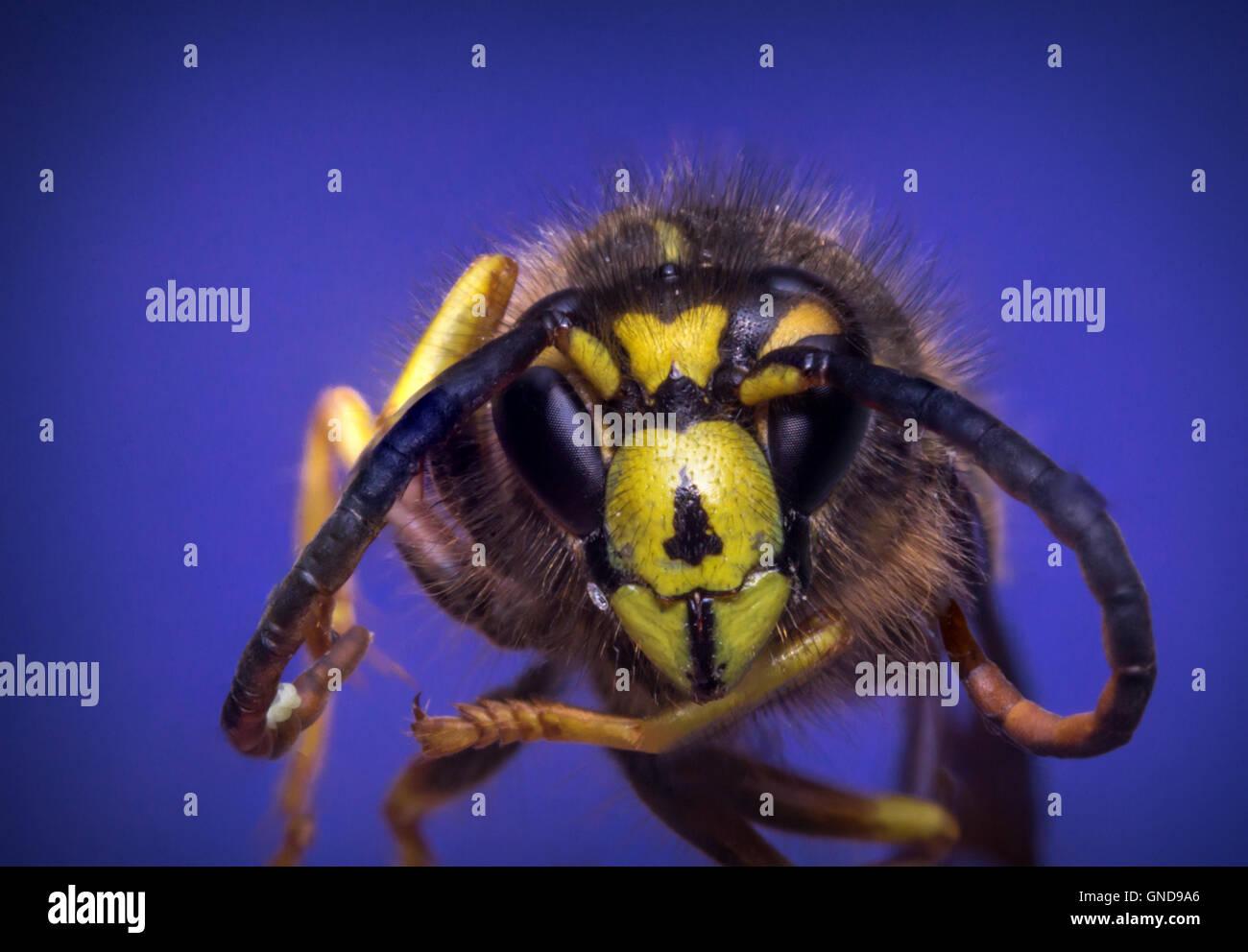 Close up macro scary yellow jacket wasp flying against blue sky - Stock Image
