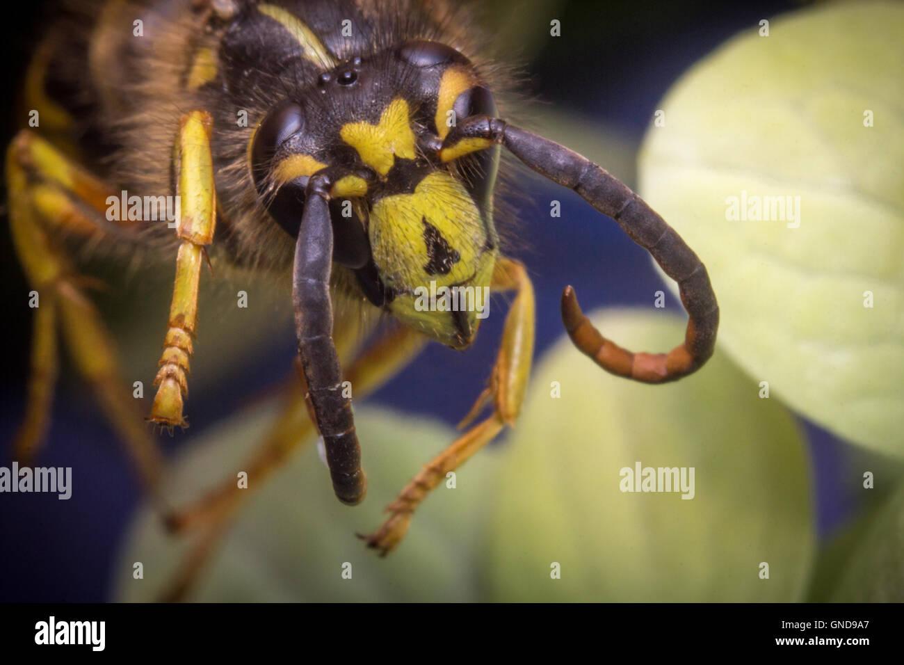 Close up macro scary yellow jacket wasp flying - Stock Image