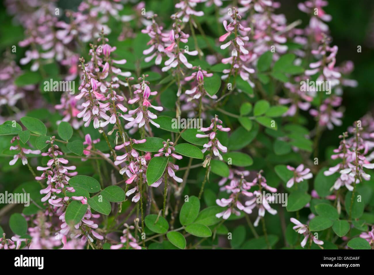 Indigostrauch, Indigo-Strauch, Indigo, Indigofera amblyantha, Pink-flower Indigo, Pink-flowered indigo, Chinese - Stock Image