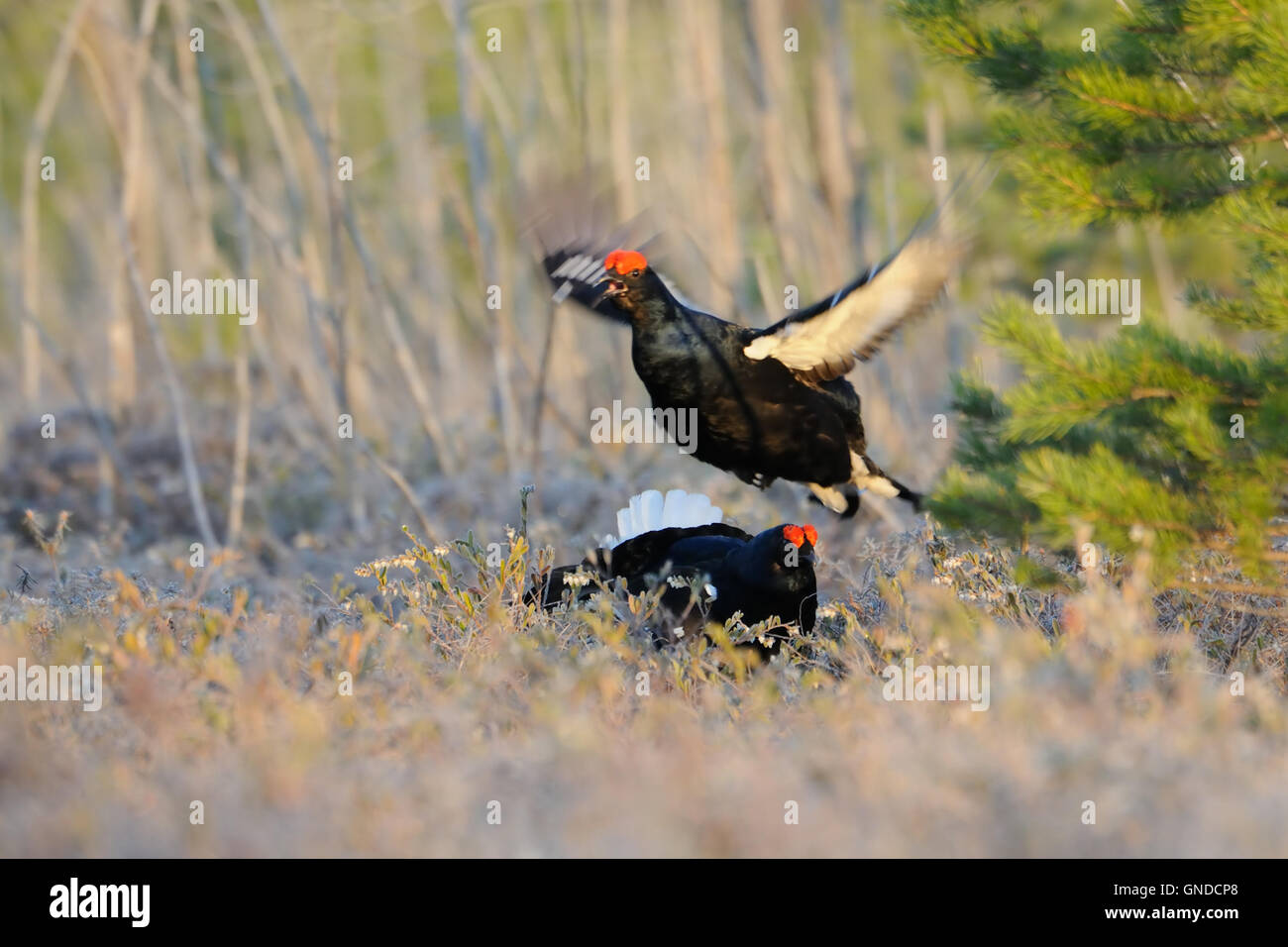 Jumping male Black Grouse (Tetrao tetrix) at swamp courting place early in the morning. - Stock Image