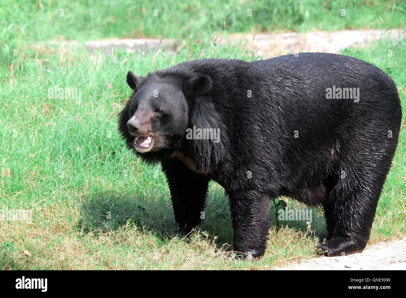 Asian or the Himalayan Black Bear (Ursus thibetanus or Selenarctos thibetanus) at National Zoological Park - Stock Image